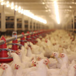 sectorul avicol, bunastarea animalelor