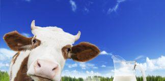 lapte de vaca