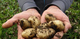 Productiile de grau si cartofi, productii