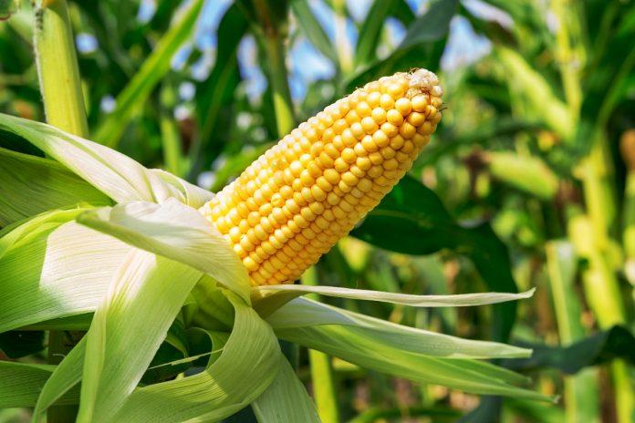 modificate genetic
